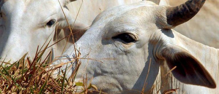 Pesquisa identifica genes que determinam qualidade da carne bovina