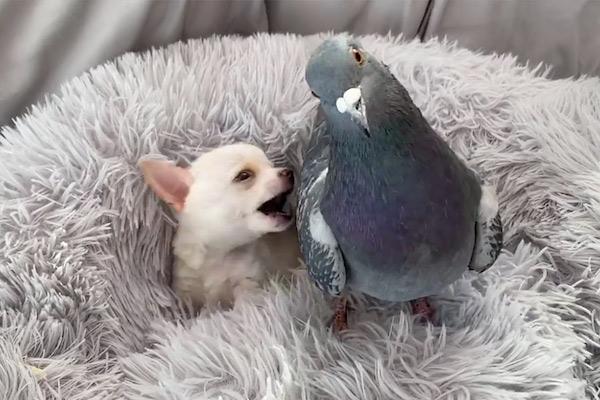 amizade pombo e chihuahua notícia boa
