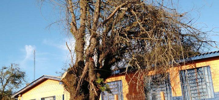 Árvores em escolas representavam perigo aos alunos