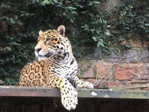 Parque Zoológico de Sapucaia do Sul recebe onça-pintada