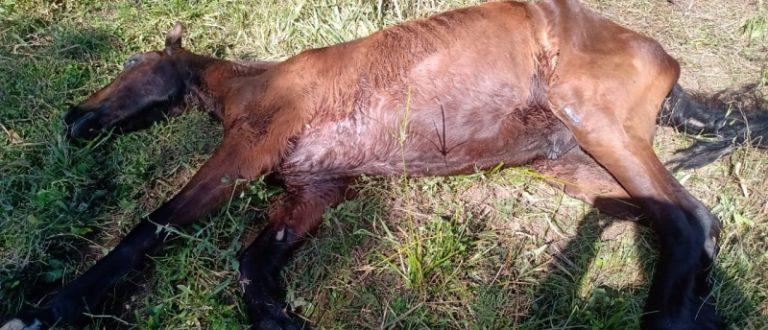 Maus-tratos: Cempra recolheu cadela com mandíbula fraturada e cavalo abandonado