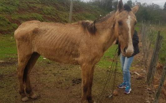 Maus-tratos: Batalhão Ambiental de Rio Pardo resgata cavalo