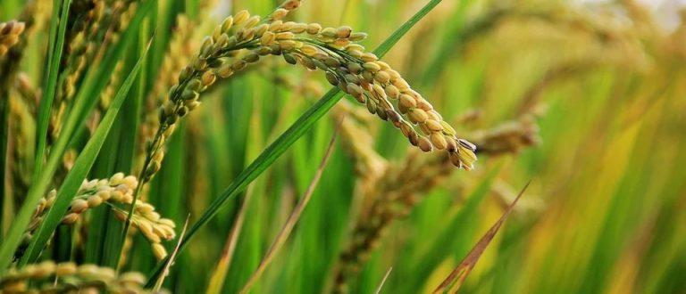 Receita Estadual institui isenção do ICMS nas operações internas de farelo de arroz