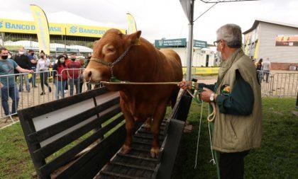 É de Cachoeira do Sul: touro mais pesado da Expointer tem 1.245 quilos